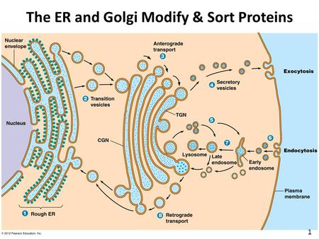 The ER and Golgi Modify & Sort Proteins