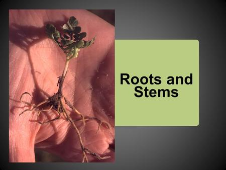 Roots and Stems. Functions of Roots  Anchor the plant  Absorb water and nutrients from the soil and transports them to the stems and leaves  Store.