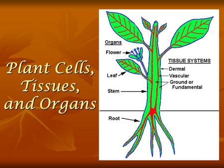 Plant Cells, Tissues, and Organs Plant Organ Systems A plant has two organ systems: a shoot system and a root system. A plant has two organ systems: