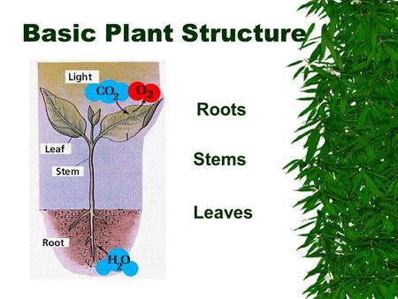 Basic Plant Structure Roots Stems Leaves.