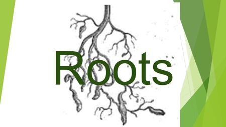 Roots. What is the role of plant roots?  Anchor a plant to the ground  Absorb water and nutrients like a sponge  Push through soil and can go through.