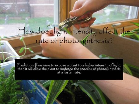 How does light intensity affect the rate of photosynthesis? Prediction: If we were to expose a plant to a higher intensity of light, then it will allow.