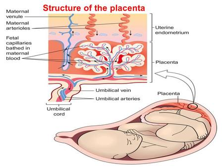 Structure of the placenta. A. Fetal circulation before birth. B. Changes to the fetal circulation at birth.