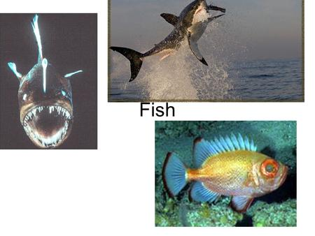 Fish. Definition of a Fish They are aquatic vertebrates that have paired fins, scales and gills.
