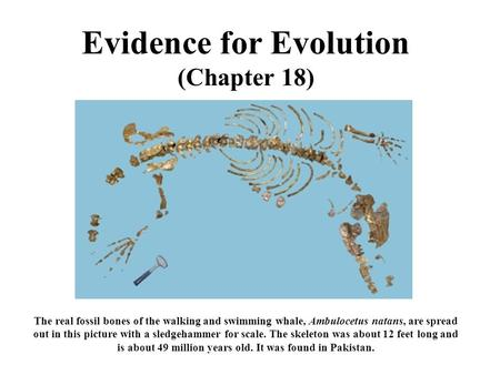 Evidence for Evolution (Chapter 18) The real fossil bones of the walking and swimming whale, Ambulocetus natans, are spread out in this picture with a.