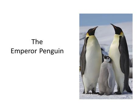 The Emperor Penguin. Emperor Penguins are big. They have yellow patches around their ears and throat and they have long narrow beaks. Emperor Penguins.