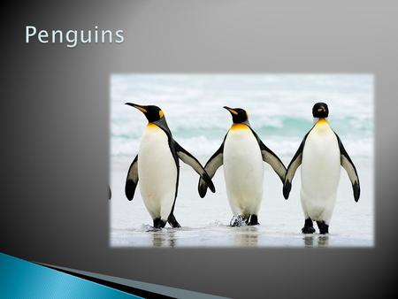  Emperor Penguin  Population: 600,000  African Penguin  Population: 70,000  Chinstrap Penguin  Population: 11.8 million  Galapagos Penguin  Population: