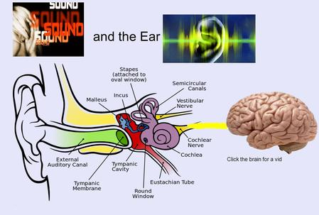 Click the brain for a vid and the Ear. (nothing to do with hearing- used with BALANCE) (sends electrical signals from cochlea to the BRAIN) AuditoryNerve.