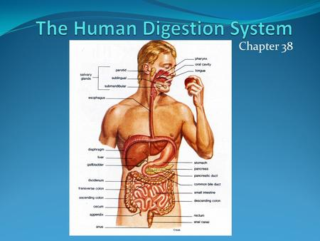 Chapter 38. Functions of the Digestive System To ingest food Digest food Force food along digestive tract Absorbs nutrients from the digested food Eliminates.