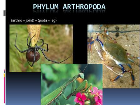 (arthro = joint) + (poda = leg). Phylum Arthropoda  Bilaterally symmetrical, triploblastic  Tagmatization  Paired, jointed appendages  Compound eyes.
