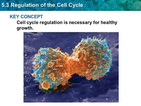 5.3 Regulation of the Cell Cycle KEY CONCEPT Cell cycle regulation is necessary for healthy growth.