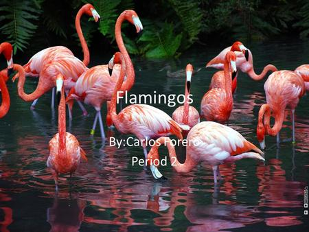 Flamingos By:Carlos Forero Period 2. Physical Appearances The Greater Flamingo stands at 120-150cm & weighs up to 3.5 kg The Lesser Flamingo stands at.