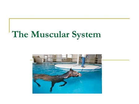 The Muscular System. Function of the muscular system Provides movement in conjunction with the skeletal system Important in life support  Helps heat.