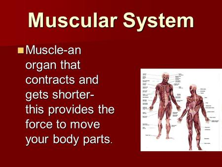 Muscular System Muscle-an organ that contracts and gets shorter- this provides the force to move your body parts. Muscle-an organ that contracts and gets.