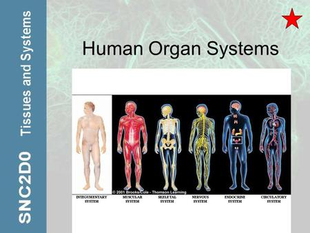 Human Organ Systems. Organs Structures that contain at least two types of tissue that work together for a common purpose What is the largest organ in.