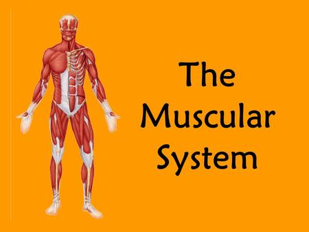The Muscular System. Skeletal Muscle Functions Produce movement Maintain posture Stabilize joints Generate heat.