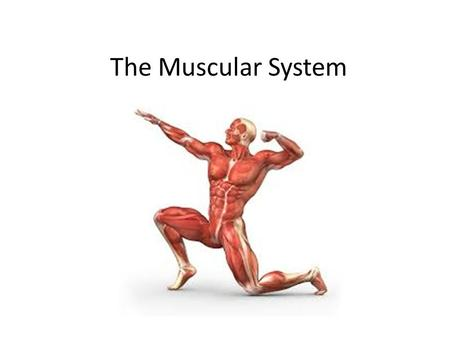 The Muscular System. How many muscles???  There are more than 600 muscles in the human body!!!  Muscles: bundles of muscle fibers that are held together.