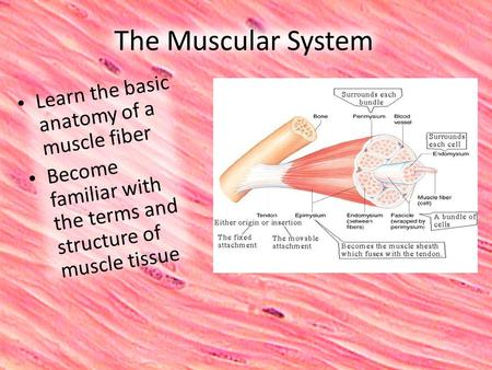 The Muscular System Learn the basic anatomy of a muscle fiber Become familiar with the terms and structure of muscle tissue.