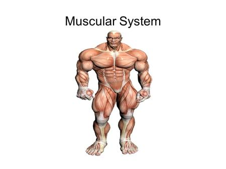 Muscular System. Characteristics of Muscle Tissue excitability  ability to receive and respond to stimuli contractility  ability of a muscle to shorten.