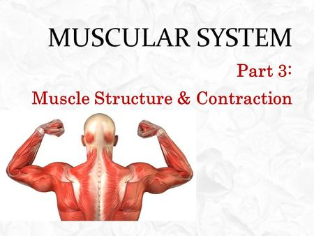 MUSCULAR SYSTEM Part 3: Muscle Structure & Contraction.