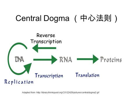 Central Dogma (中心法则) Reverse Transcription Adapted from: