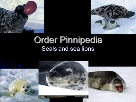 Order Pinnipedia Seals and sea lions. Classification Kingdom: Animalia Kingdom: Animalia Phylum Chordata Phylum Chordata Subphylum Vertebrata Subphylum.