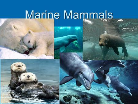 Marine Mammals. Pinnepeds  Pinnepeds are marine mammals that have flippers and blubber, that need to breed on land.  Seals, Walruses, and Sea Lions.