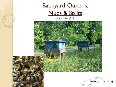 Backyard Queens, Nucs & Splits April 13 th 2016. Sustainable Hive Management  Breed survivor stock and Stop Buying Bees! ◦ Hives with local queens survive.