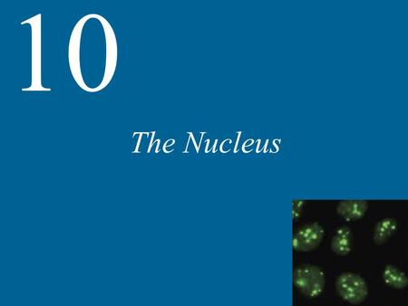 The Nucleus 10. 10 The Nucleus The Nuclear Envelope and Traffic between the Nucleus and the Cytoplasm The Organization of Chromosomes Nuclear Bodies.
