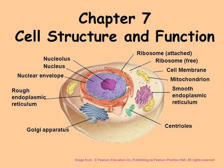 Chapter 7 Cell Structure and Function Image from: © Pearson Education Inc, Publishing as Pearson Prentice Hall; All rights reserved Nucleolus Nucleus Nuclear.