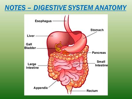 NOTES – DIGESTIVE SYSTEM ANATOMY. Within 2-6 hours, all food is emptied into the small intestine. After you eat how long does it take for the stomach.