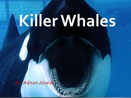 By Adnan Javeid Killer Whales ADNAN BY.  They look like black and white.  Killer Whale's don't like penguins because they poke killer Whale's.  They.
