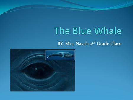 BY: Mrs. Nava's 2 nd Grade Class. What It Looks Like (Characteristics) It's the largest animal ever to live on earth. A blue whale can be up to 100 feet.