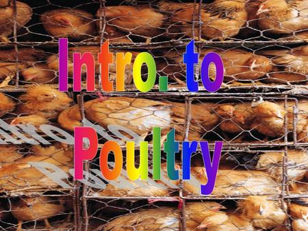 WHAT IS POULTRY?  Domestic birds raised for eggs and meat.