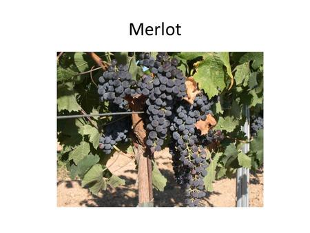 Merlot. Merlot is a darkly blue-colored wine grape, that is used as both a blending grape and for varietal wines. The name Merlot is thought to derive.