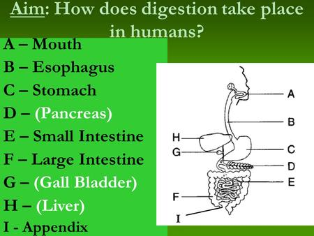 Aim: How does digestion take place in humans? A – Mouth B – Esophagus C – Stomach D – (Pancreas) E – Small Intestine F – Large Intestine G – (Gall Bladder)