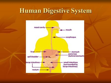 Human Digestive System. Two Main Types of Digestion Mechanical : Physically breaking apart food. This increases the surface area on which digestive enzymes.