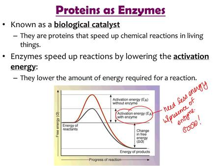 Proteins as Enzymes Known as a biological catalyst – They are proteins that speed up chemical reactions in living things. Enzymes speed up reactions by.