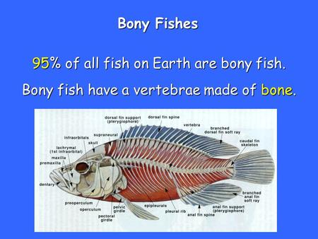 95% of all fish on Earth are bony fish.