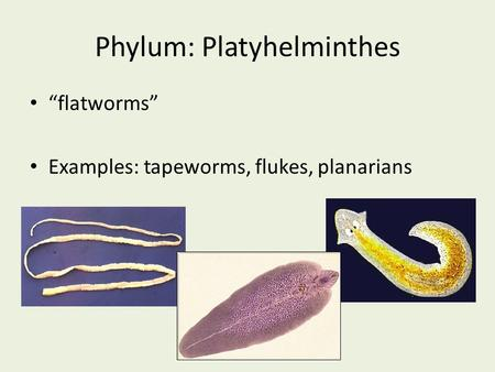 "Phylum: Platyhelminthes ""flatworms"" Examples: tapeworms, flukes, planarians."