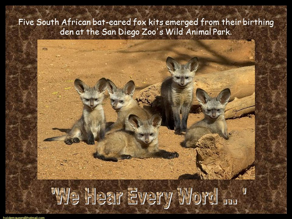 holdemqueen@hotmail.com Five South African bat-eared fox kits emerged from their birthing den at the San Diego Zoo s Wild Animal Park.