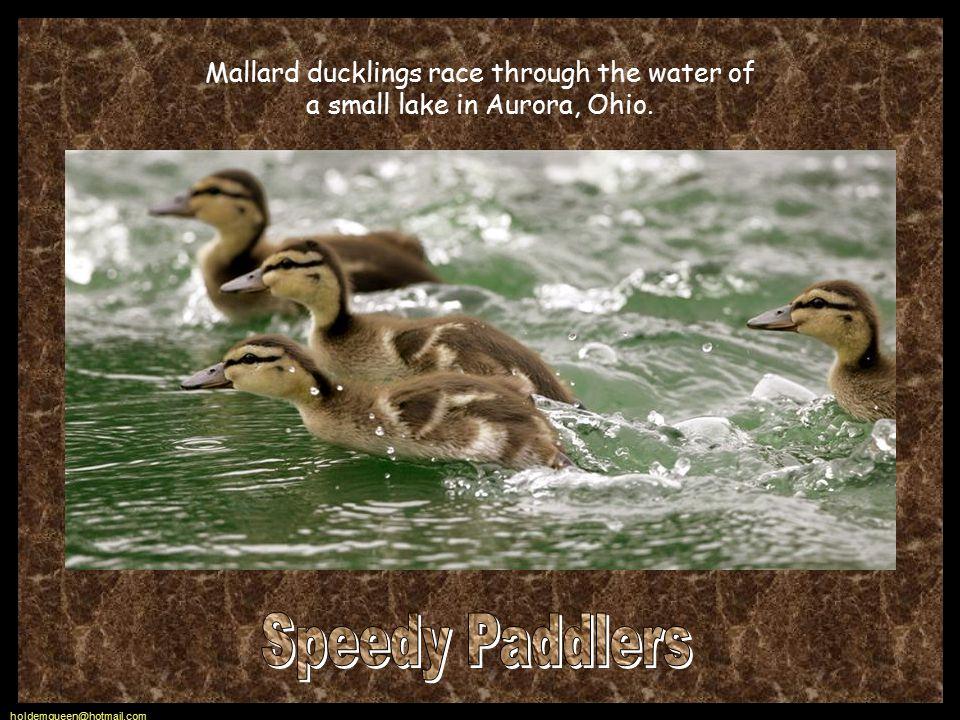 Mallard ducklings race through the water of a small lake in Aurora, Ohio.