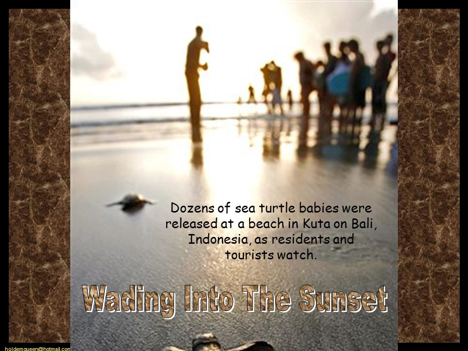 holdemqueen@hotmail.com Dozens of sea turtle babies were released at a beach in Kuta on Bali, Indonesia, as residents and tourists watch.