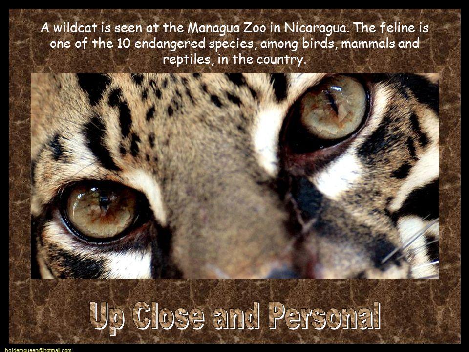 holdemqueen@hotmail.com A wildcat is seen at the Managua Zoo in Nicaragua.