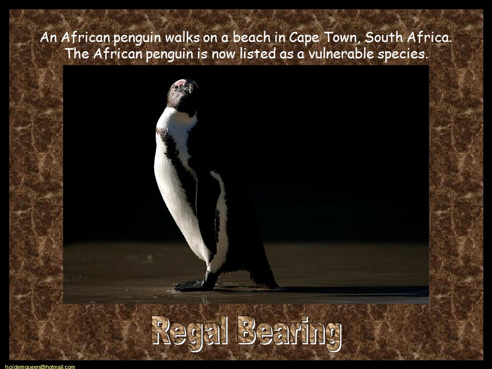 holdemqueen@hotmail.com An African penguin walks on a beach in Cape Town, South Africa.