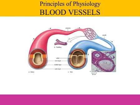 Principles of Physiology BLOOD VESSELS. Arteries – away from the heart Capillaries – within the body tissues Veins – toward the heart Blood vessels.