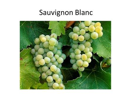 Sauvignon Blanc. Sauvignon Blanc is a green-skinned grape variety which originates from the Bordeaux region of France. The grape most likely gets its.