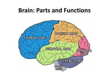 Brain: Parts and Functions. Central Nervous System: Brain 4 brain regions – Cerebral hemisphere – Diencephalon – Brainstem – Cerebellum.