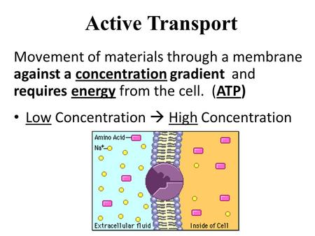 Active Transport Movement of materials through a membrane against a concentration gradient and requires energy from the cell. (ATP) Low Concentration.