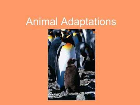 Animal Adaptations Animals depend on their physical adaptations for many reasons: To obtain food To build homes To keep safe To withstand weather To.